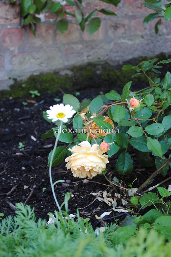 Daisy by alexandriaiona