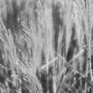 Grass From a Sunday IV by M. J. Cuthbertson