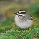 Golden-crowned Kinglet. by Daniel Cadieux