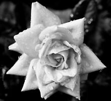 Black and White Rose by michelsoucy