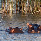 """""""Mother and child"""" - hippo and her calf. Mabula, Northern Province, South Africa. by Fineli"""