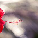 Hibiscus Bokeh by Josie Eldred