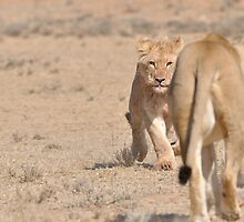 Lion cub by jeff97
