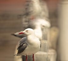 Seagull Conga by D-GaP