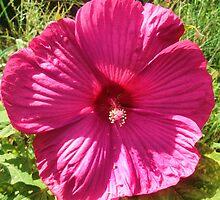 "Pink Hibiscus Plum Crazy by Christine ""Xine"" Segalas"