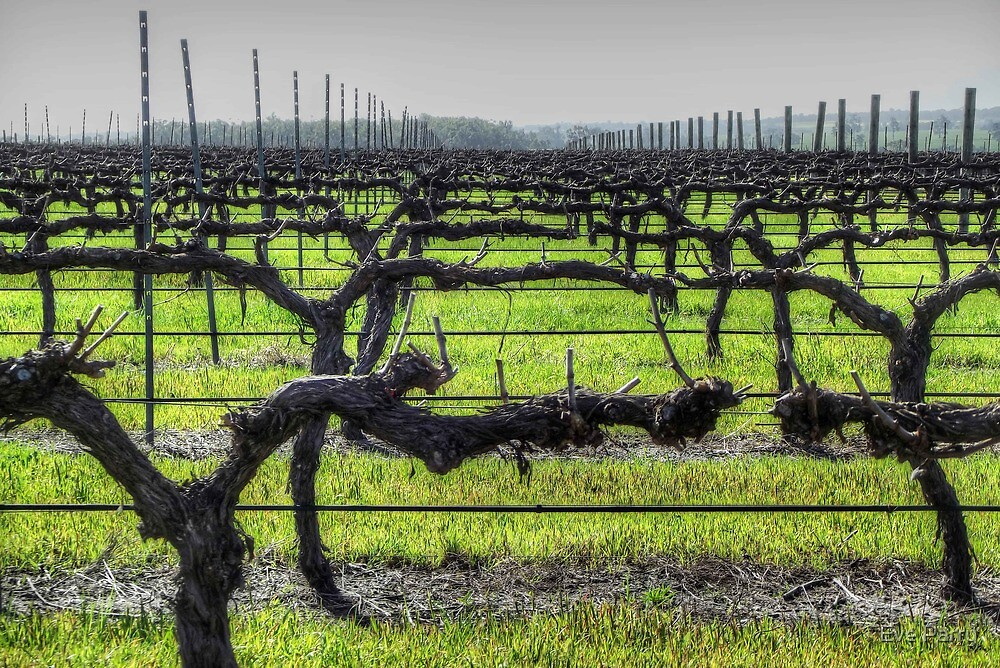Ferngrove Vineyard by Eve Parry