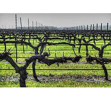 Ferngrove Vineyard Photographic Print