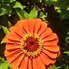 "Orange Zinnia Delight by Christine ""Xine"" Segalas"