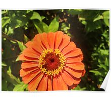 Orange Zinnia Delight Poster