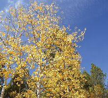 Bright Aspens in Jemez Mountains by MStrause