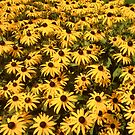 "Black-Eyed Susans by Christine ""Xine"" Segalas"