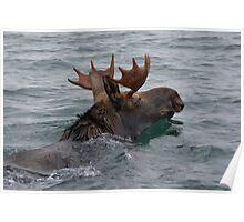 swimming moose Poster