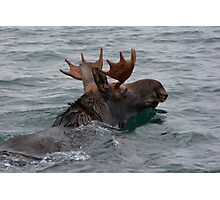 swimming moose Photographic Print