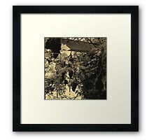 A Walk Around Hazelbank..In the old greenhouse ...with grapes. Framed Print