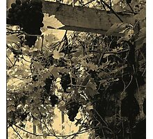 A Walk Around Hazelbank..In the old greenhouse ...with grapes. Photographic Print