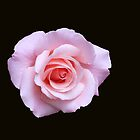Gentle Rose by kathrynsgallery
