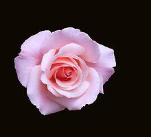 Gentle Rose by kathrynsgallery