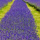 Mayfield Lavender fields by SteveHphotos