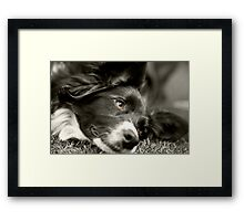 Loveable Border Collie Framed Print