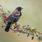 Red-Winged Blackbird by (Tallow) Dave  Van de Laar