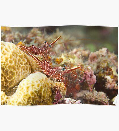 Hingebeak Shrimp Poster