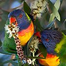 Lorikeets feeding by Keith Smith