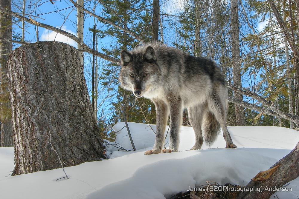 Wolf Stance by JamesA1