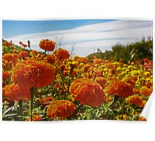 Field Of Marigolds Poster