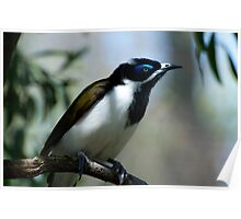 Blue Faced Honeyeater - Close Up Poster
