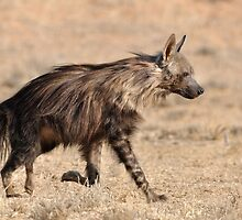 Brown hyena by jeff97