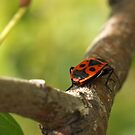 Pyrrhocoris Apterus by jean-louis bouzou