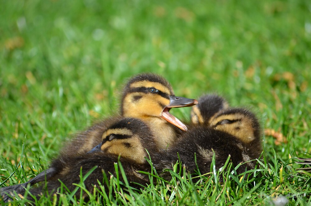 Yawning Duckling by Bami