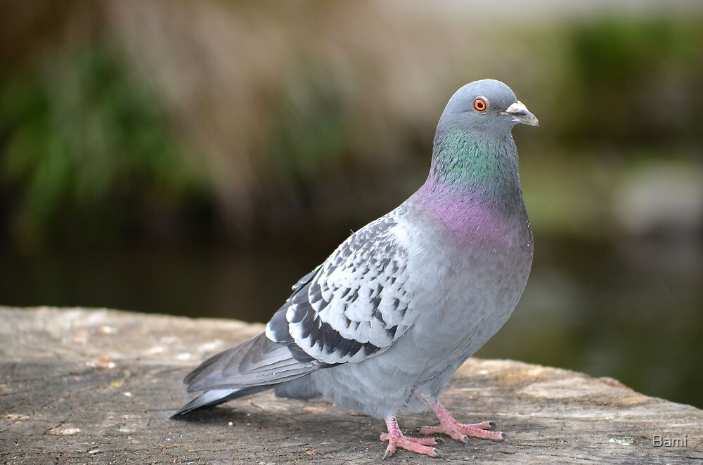 Pigeon by Bami