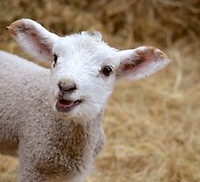 Little Lamb by Bami