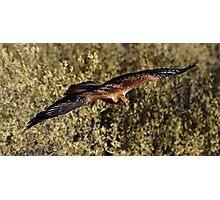 """Brown Kite in Flight"" Photographic Print"