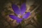 Blue China Orchid (Cyanicula gematta) by Elaine Teague
