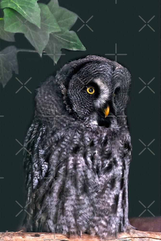 Great Grey Owl by Vac1