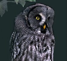 Great Grey Owl by Vac1