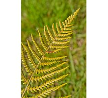 The Shiny Fern.. Photographic Print