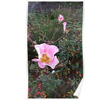 Dewy Wild Rose Blooms and Buds Poster