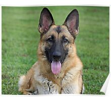 Beautiful Sable German Shepherd Poster