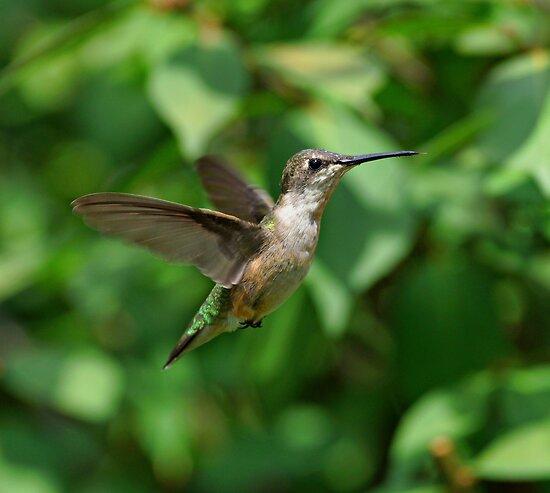 Hummingbird in Flight by Sandy Keeton