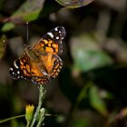 Butterfly by marcum502