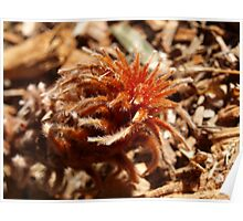 Banksia blechnifolia young growth  Poster