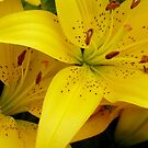 Yellow Asiatic Lilies by WildestArt