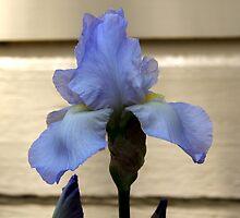 Purple Iris by Steven Cousley