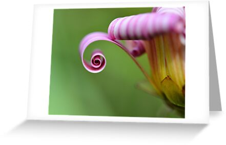 Daisy Curl by Glenda Williams