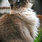 Harry, The Ragdoll Cat of my life by shirlea62