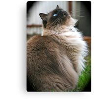 Harry, The Ragdoll Cat of my life Canvas Print