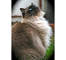 Harry, The Ragdoll Cat of my life Photographic Print